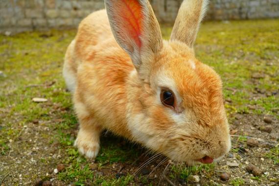 大久野島のウサギ.jpg