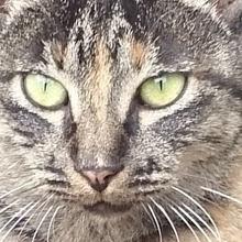黒い三毛猫