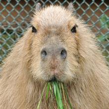 Kapibarasan